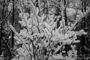 cottony snow -  20140317-DSC_0075 - 20140317 -_