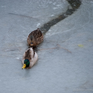 duck, duck gentleman - 20140317-DSC_0060 - 20140317 -_