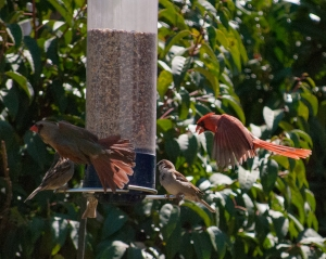 refluffle at the feeder - 20140406-DSC_0018 - 20140406