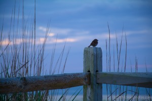 bird on fence at sunrise - 20140622-BER_2996 -_