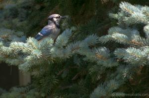 bluebird in blue spruce - 20140615-BER_2596 -_