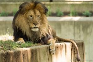 male lion - head to tale - 20140711-BER_4596 -_