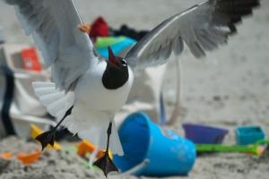 seagull attack - 20140703-DSC_0071 -_