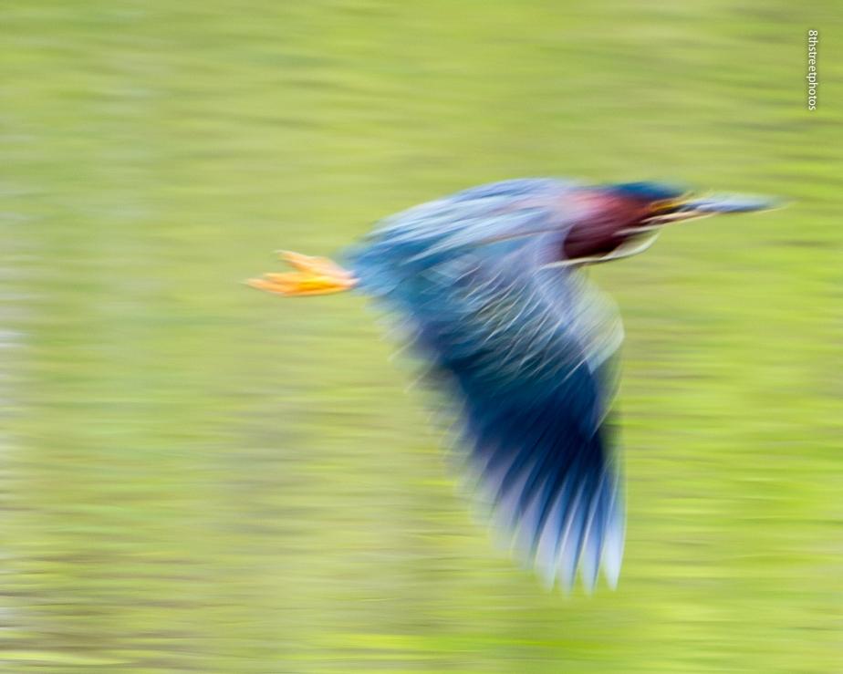TR Island - adult Green Heron - 20150501-_JBB9379 copy