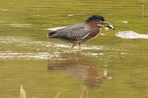 TR Island - adult Green Heron - 20150501-_JBB9502