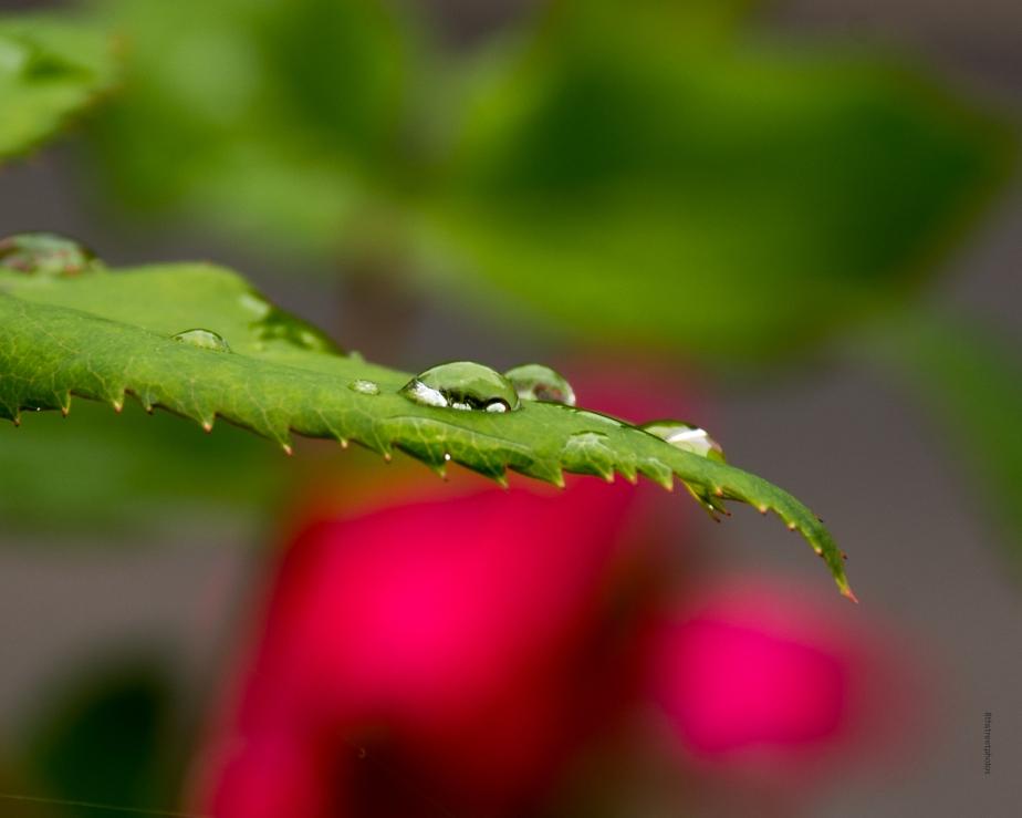 rain on rose