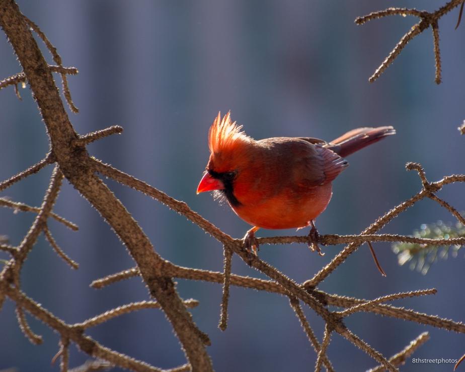 cardinals backlit_20160206__JBB7969