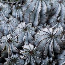 Euphorbia horrida (Nat'l Botanic Garden)_20160518__JBB1085