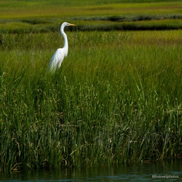 egrets. the great kind