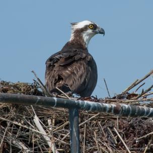momma osprey
