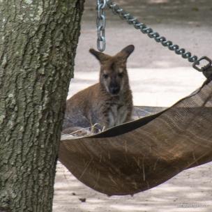 wallaby hammock