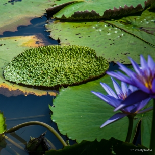 Kenilworth Aquatic Gardens_20170813__JBB8810