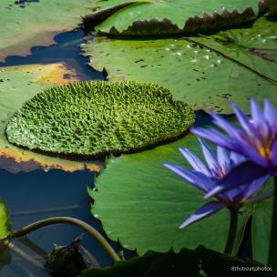 Kenilworth Aquatic Gardens_20170813__JBB8810