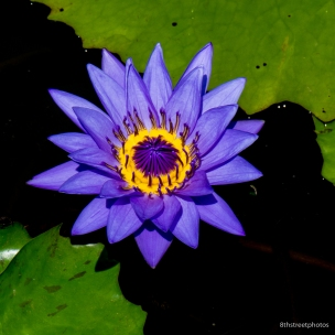 Kenilworth Aquatic Gardens_20170813__JBB8813