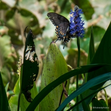 Kenilworth Aquatic Gardens_20170813__JBB8831
